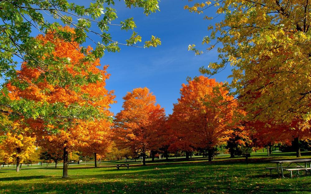 желтые деревья