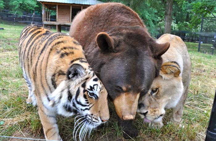 Тигр, медведь и лев